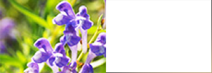Scutellaria Baicalensis Root Extract